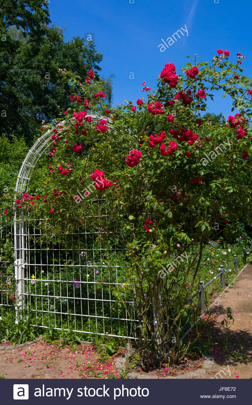 Rose Garden City Park Berlin Summer Garden flores rosas en el jardín ...