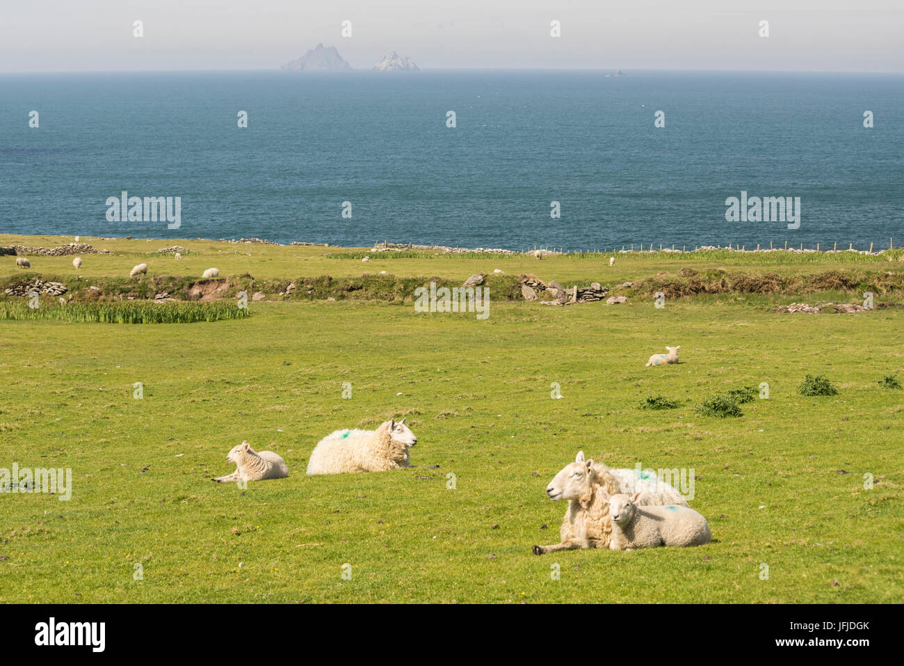 Ovejas en el césped a lo largo de Skellig Ring y Skellig Islands en el backgroung, Skellig Ring, Co, Kerry, Munster, Foto de stock