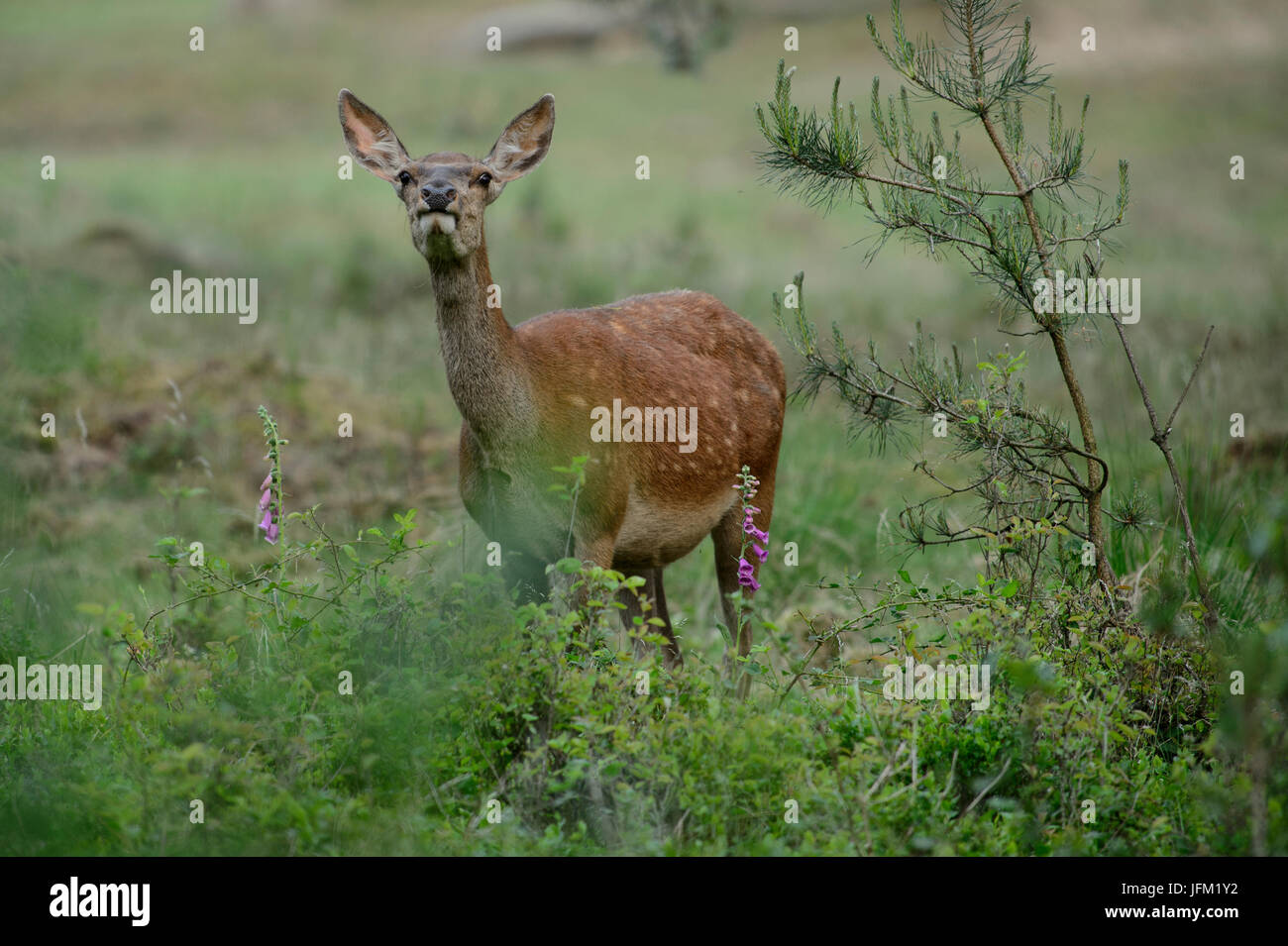 Red Deer hind oliendo en el aire, con foxglove flores. Parque Nacional De Hoge Veluwe, Países Bajos Imagen De Stock
