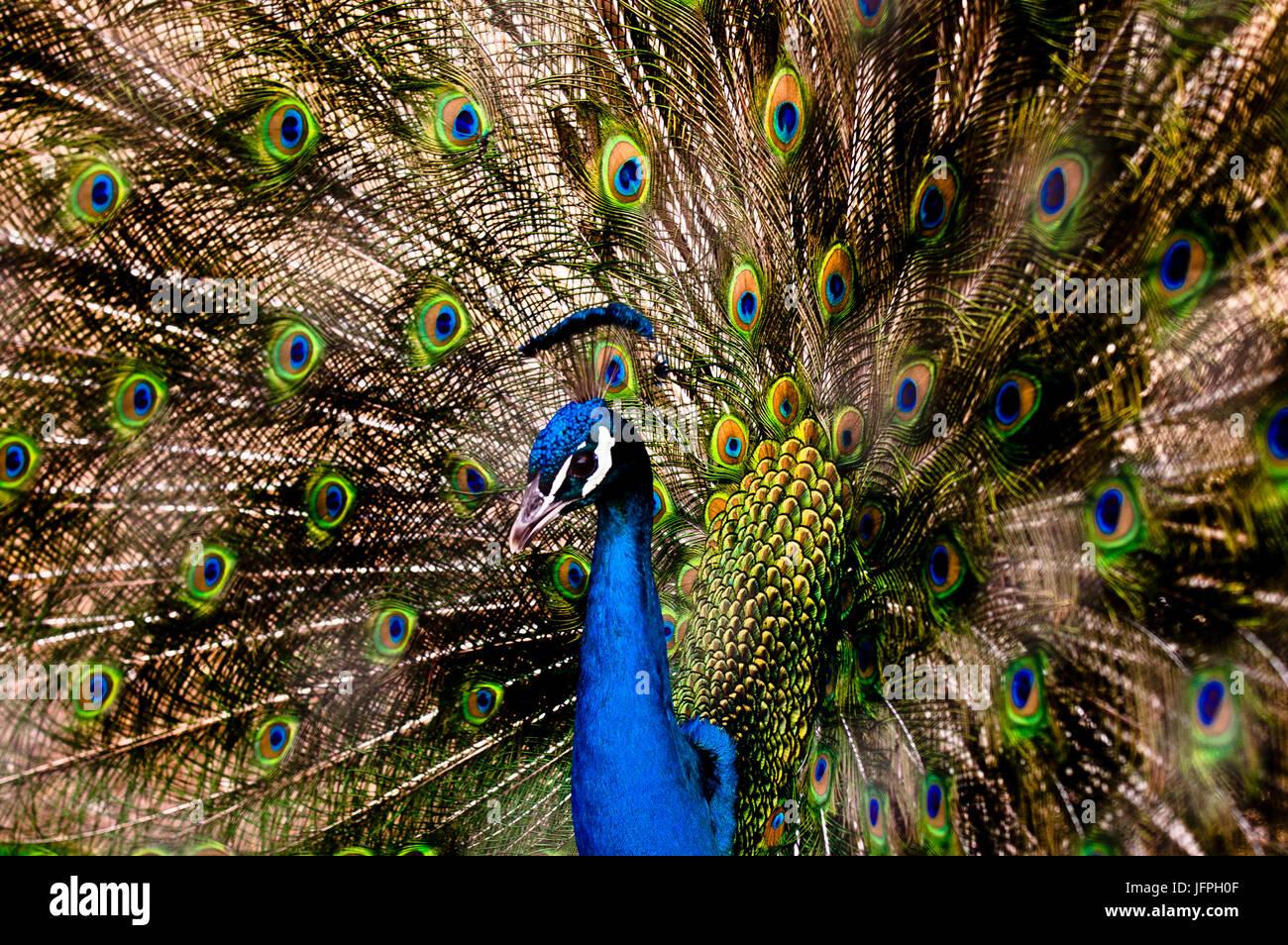 Colorido Peacok en el Zoo, Mexicali, Baja California, México. Imagen De Stock