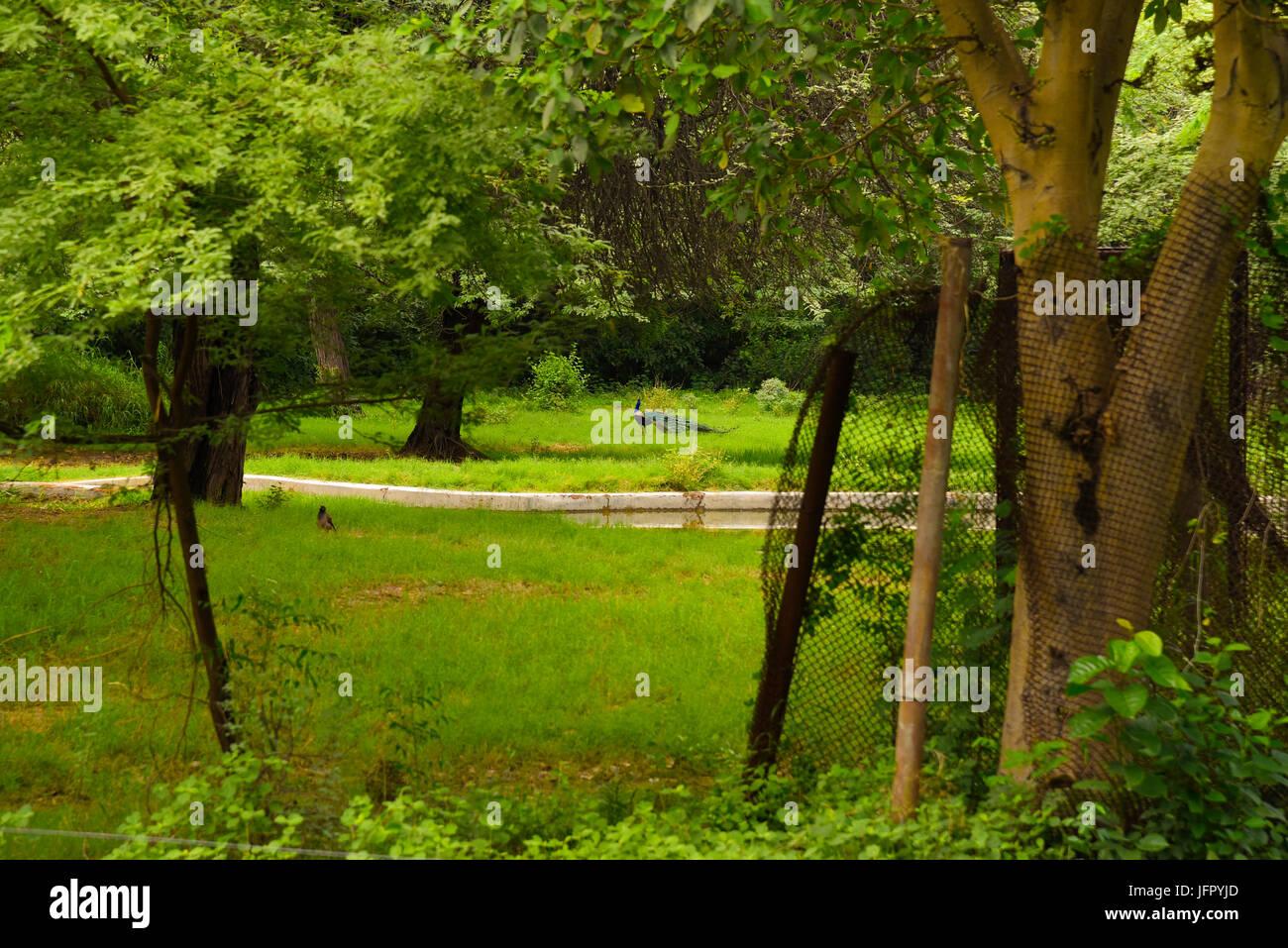 Ave Nacional de la India Peacock en verde de la naturaleza al aire libre, parque o bosque en el mes de junio de 2017 después de la lluvia Foto de stock