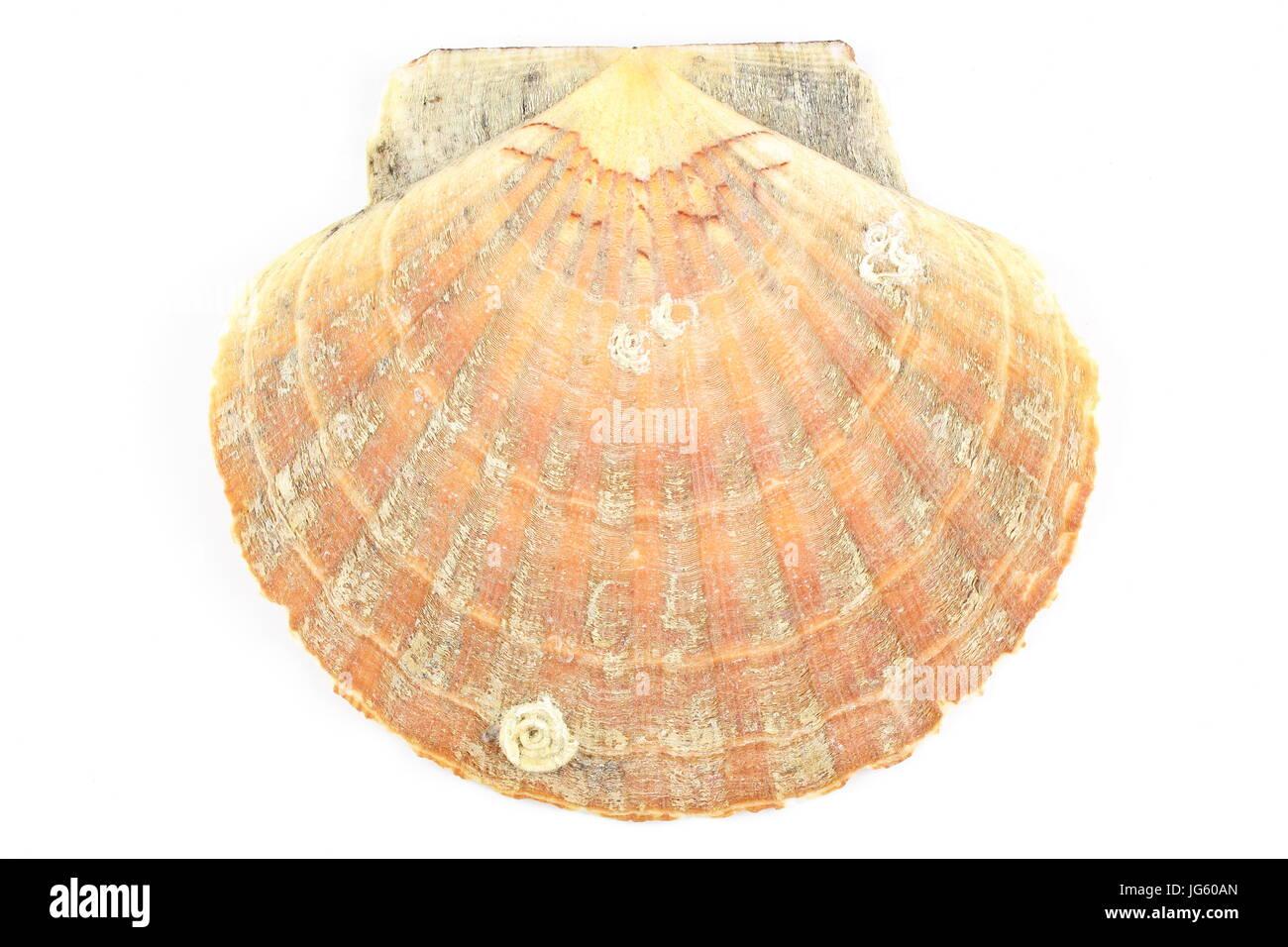 Composición de una concha de vieira aislado sobre un fondo blanco. Imagen De Stock