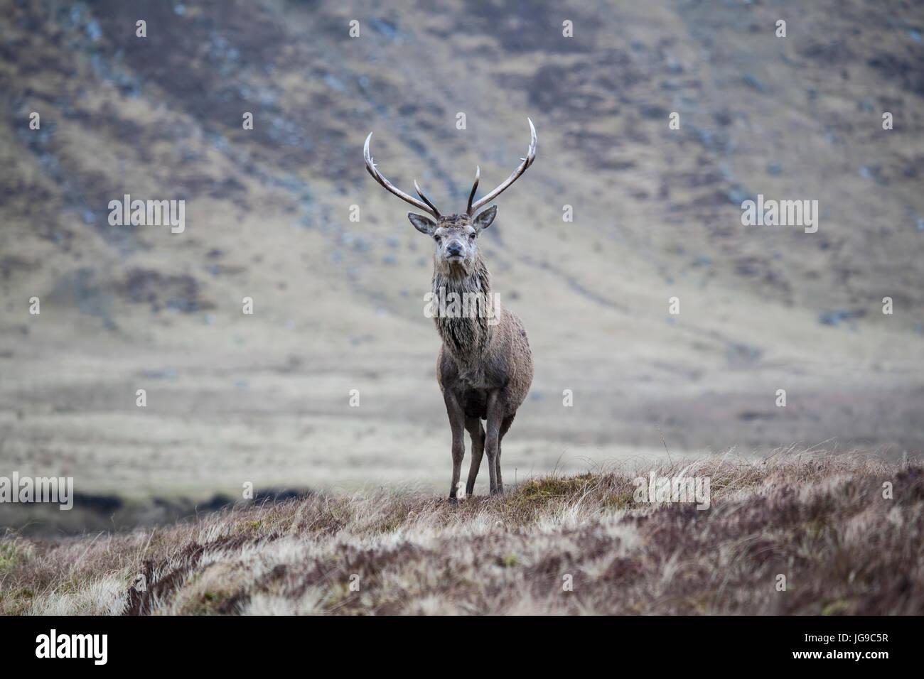 Solo ciervo rojo (Cervus elaphus) en un paisaje Escocés Foto de stock