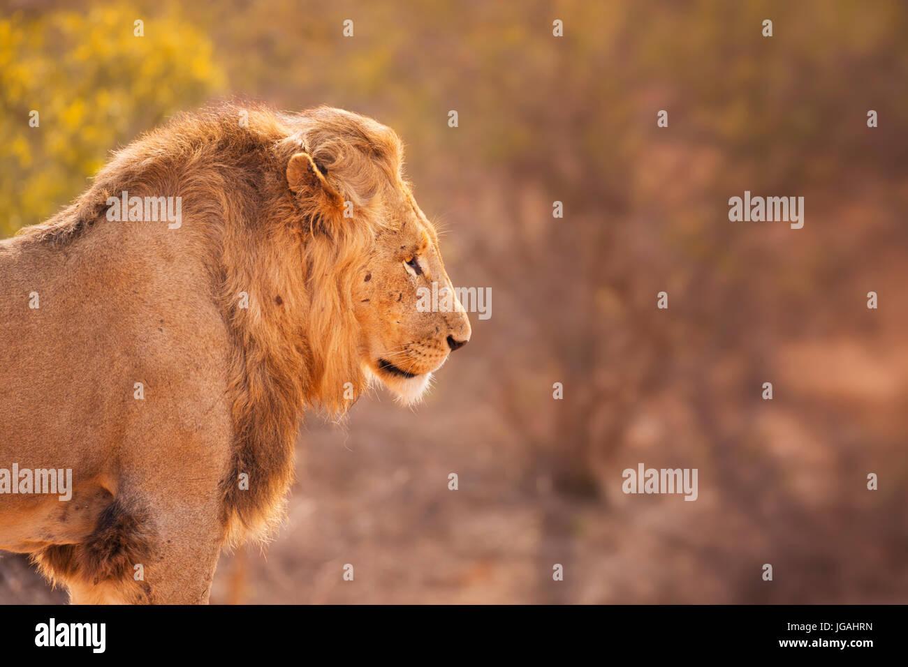 Cerca de un león macho en la luz del sol por la mañana temprano en el Parque Nacional Kruger, Sudáfrica. Imagen De Stock
