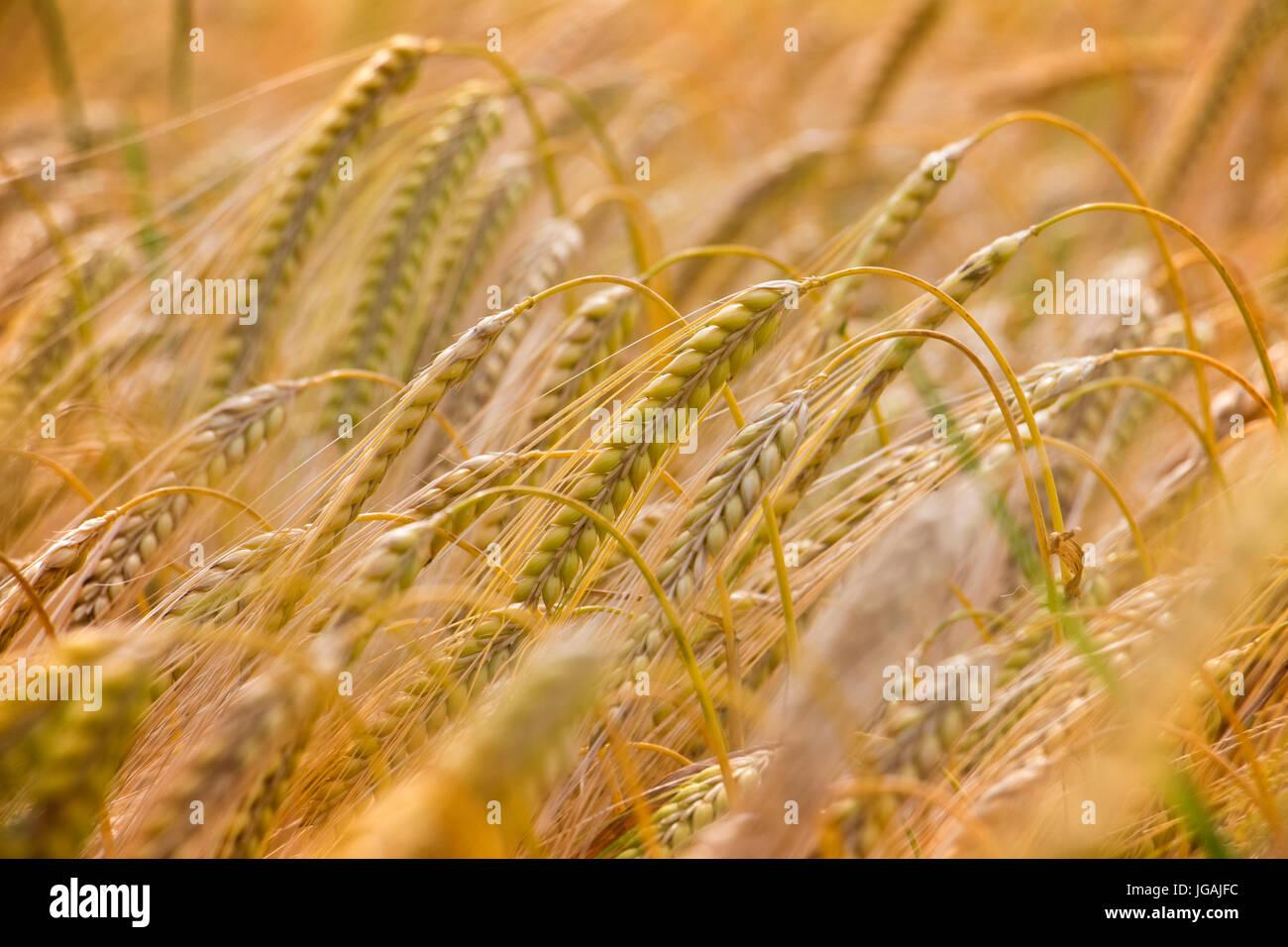 Cosecha de Cebada de invierno en junio. Lincolnshire, Inglaterra, Reino Unido. Imagen De Stock