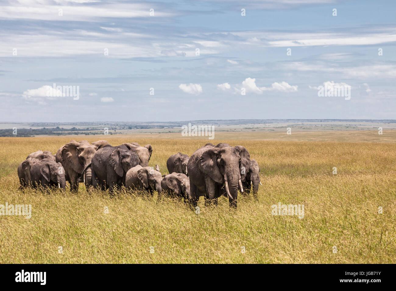 Grupo de elefantes, Masai Mara, Kenya. Foto de stock
