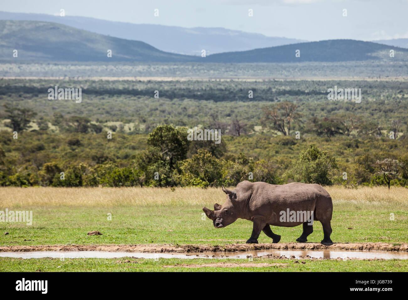White Rhino, Solio juego ranch, Kenya. Foto de stock