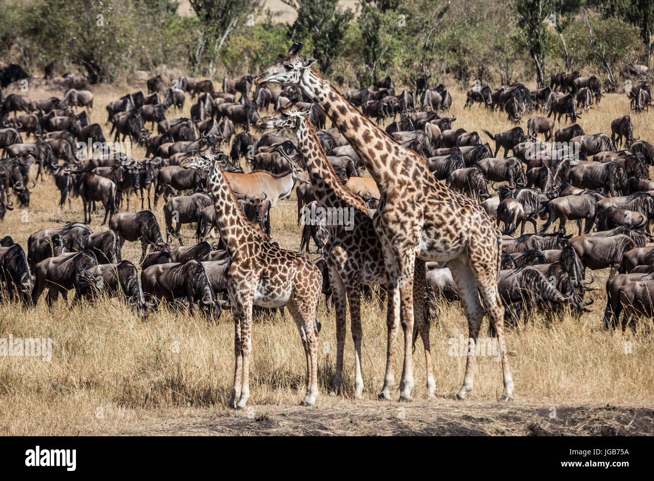 Gnu cruzar durante la gran migración Masai Mara, Kenya. Foto de stock