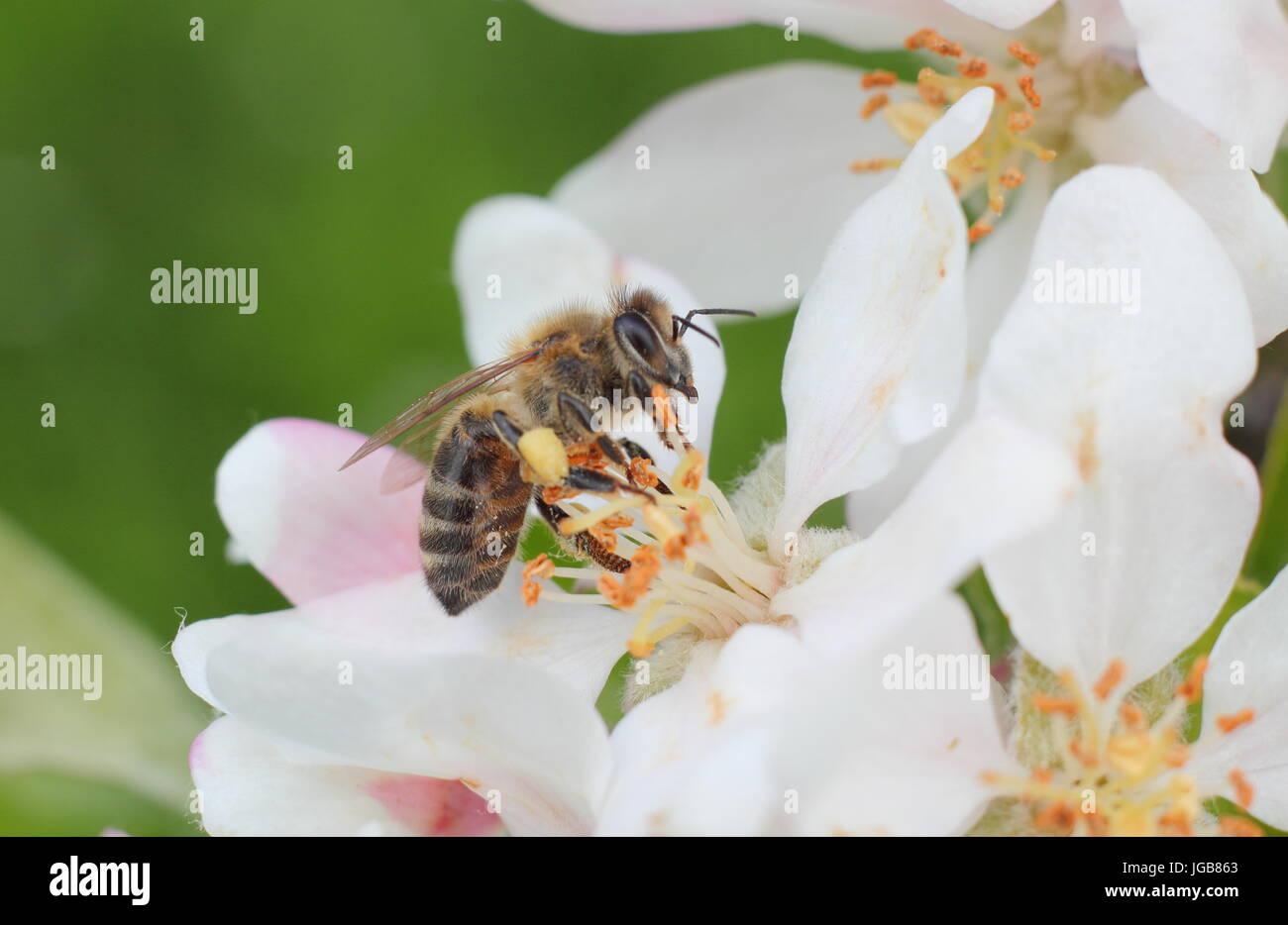 Miel de abejas (Apis mellifera), recogiendo el néctar de las flores de la primavera florecen de Malus domestica 'Katy', Apple tree en inglés un huerto en mayo, REINO UNIDO Foto de stock