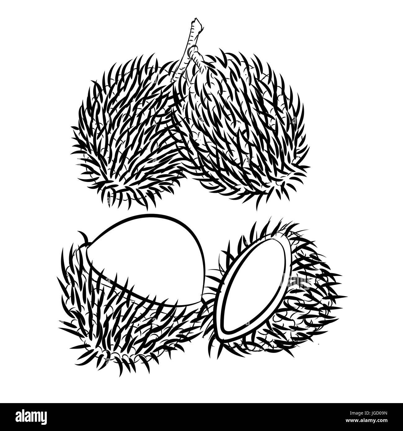 Croquis Dibujados A Mano De Rambutan Aislados En Blanco Y Negro Para Colorear La Ilustración Vectorial De Dibujos Animados Libro Línea Trazada Vector Imagen Vector De Stock Alamy