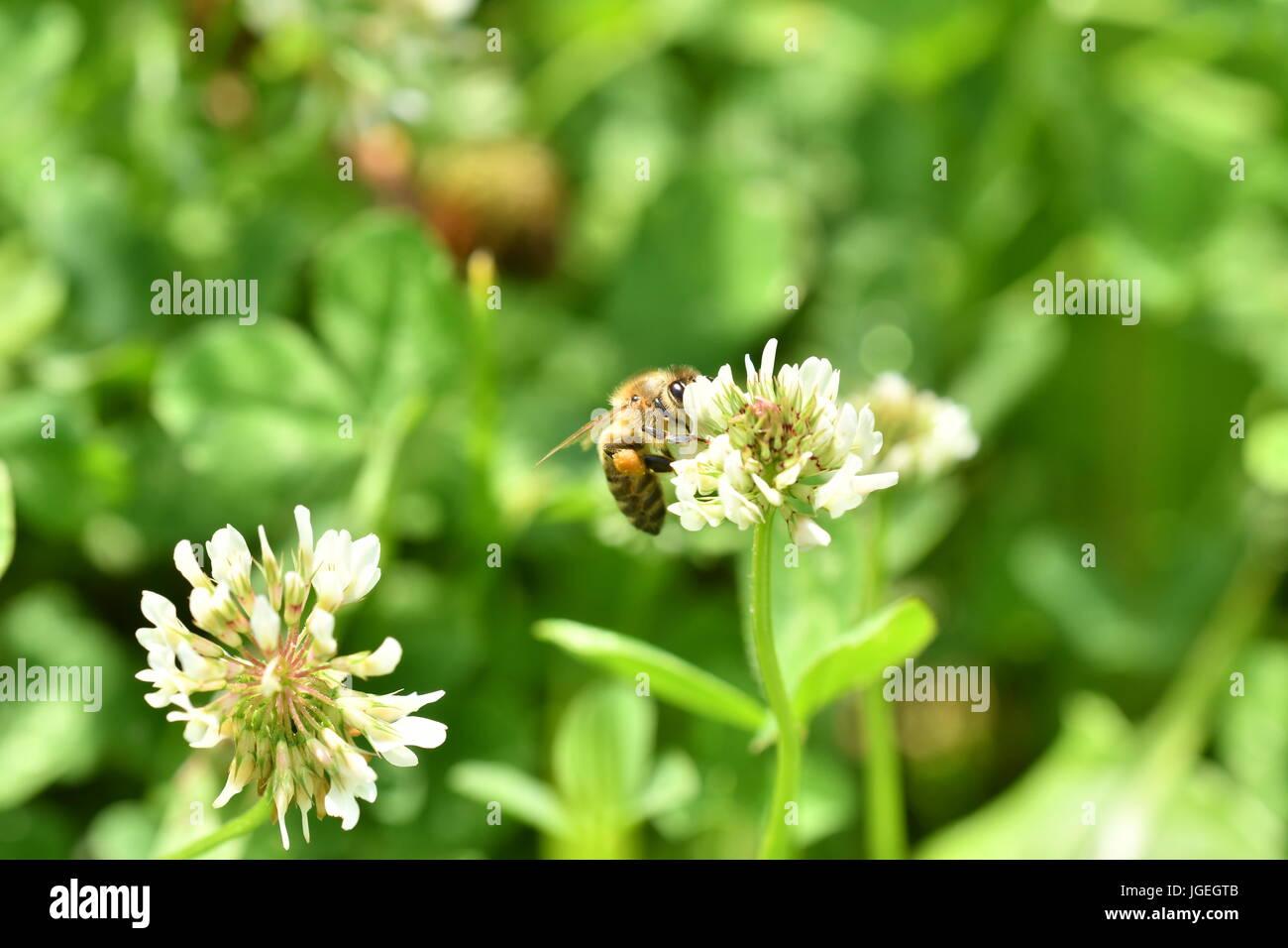 La abeja polinates macro de la flor Foto de stock