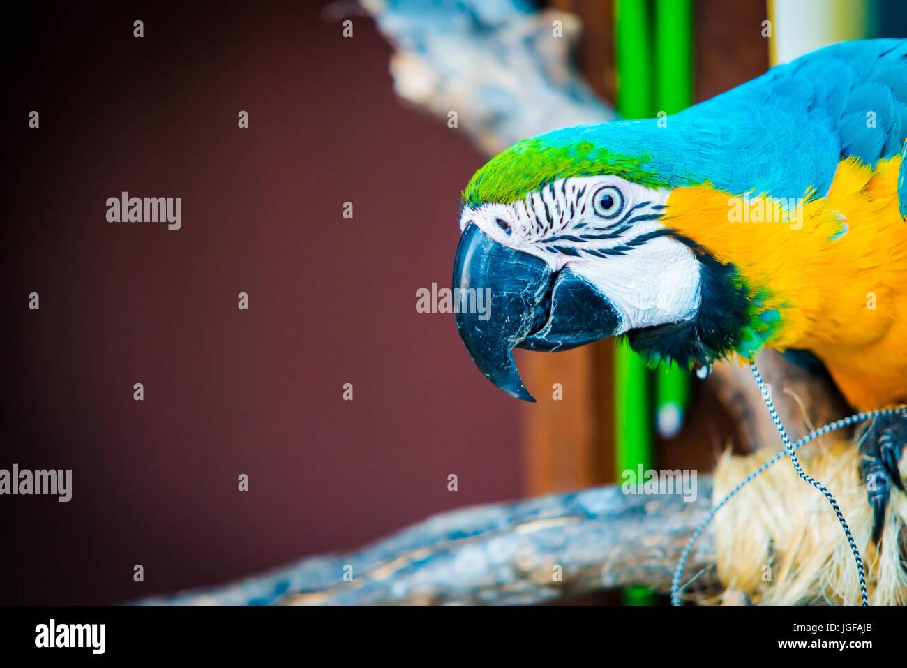 Retrato de guacamayo azul y amarillo con copia espacio para el texto Imagen De Stock
