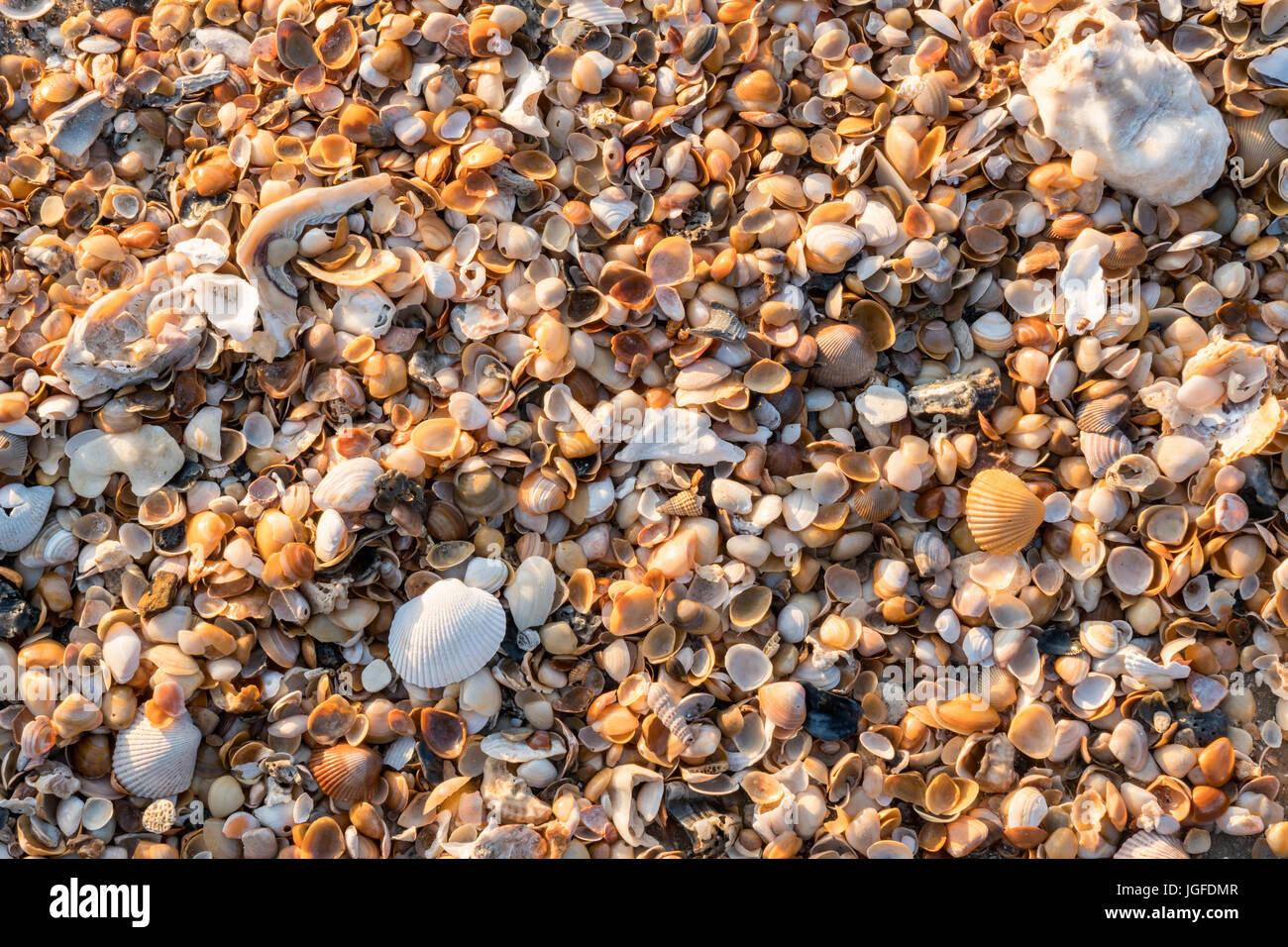 Una colección de caracoles se encuentran en las playas de Amelia Island en Florida. Foto de stock