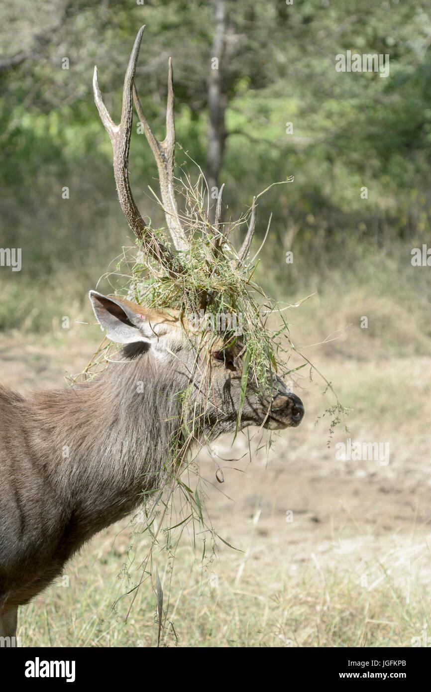 Ciervos Sambar (Rusa unicolor, Cervus unicolor), retrato de ciervo con hierba entre las astas durante la rutina, el parque nacional Ranthambhore, Rajasthan, India. Foto de stock