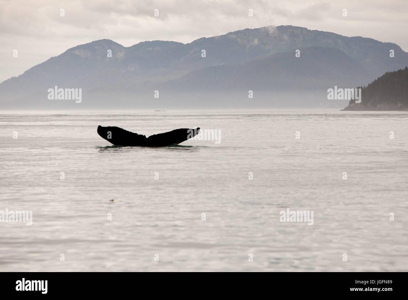 Entre montañas, la aleta de cola de una ballena jorobada, Megaptera novaeangliae, incumple el agua. Foto de stock