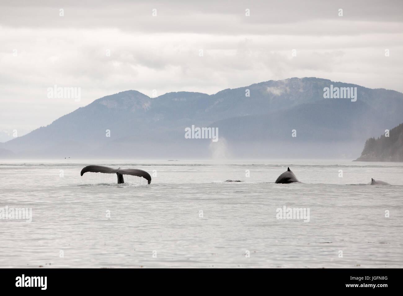 Una manada de ballenas jorobadas Megaptera novaeangliae, nadar en el agua infringir la cola y aletas dorsales. Foto de stock