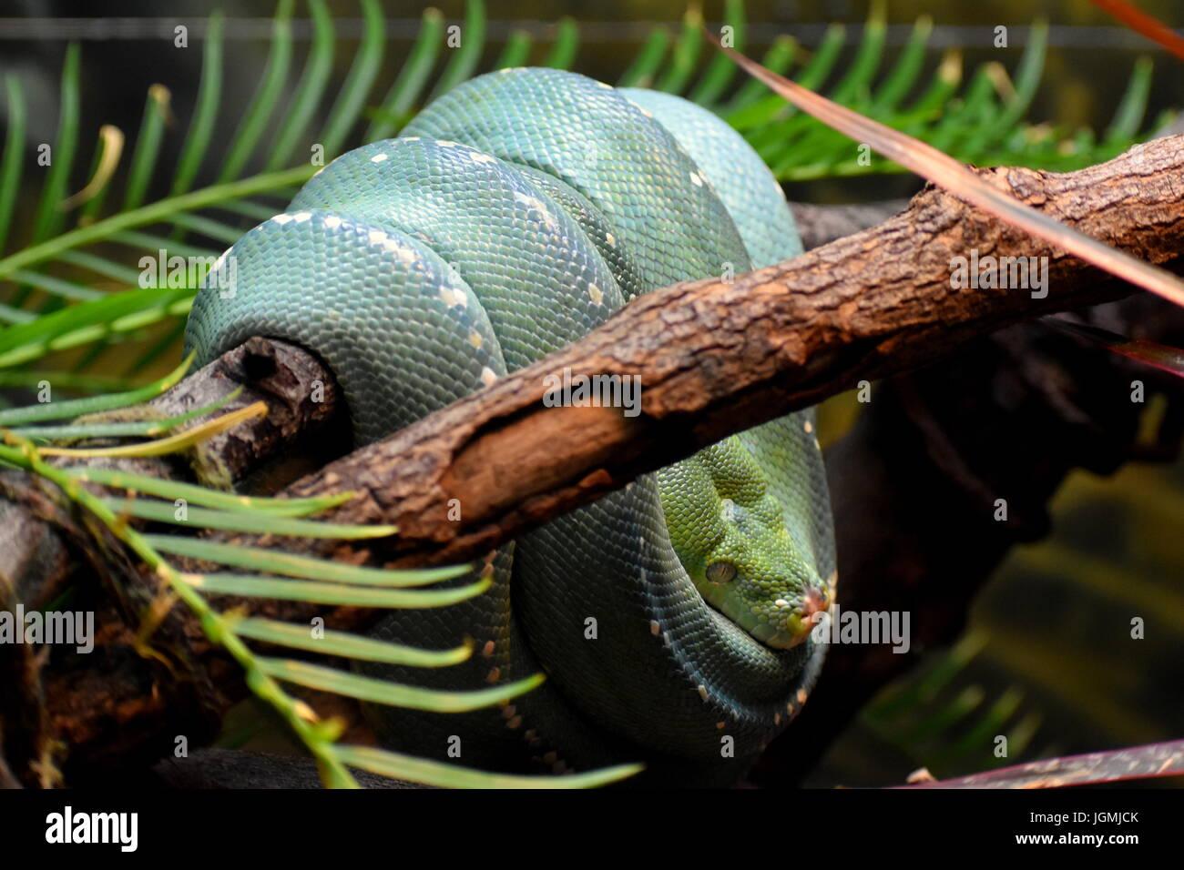 Espiral Serpiente verde en una sucursal Imagen De Stock