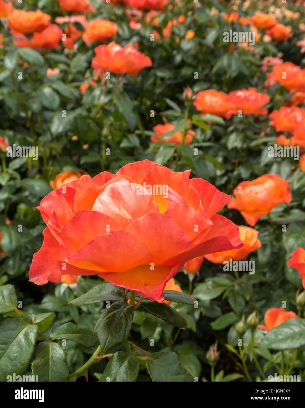 Rose Harwelcome becas Imagen De Stock