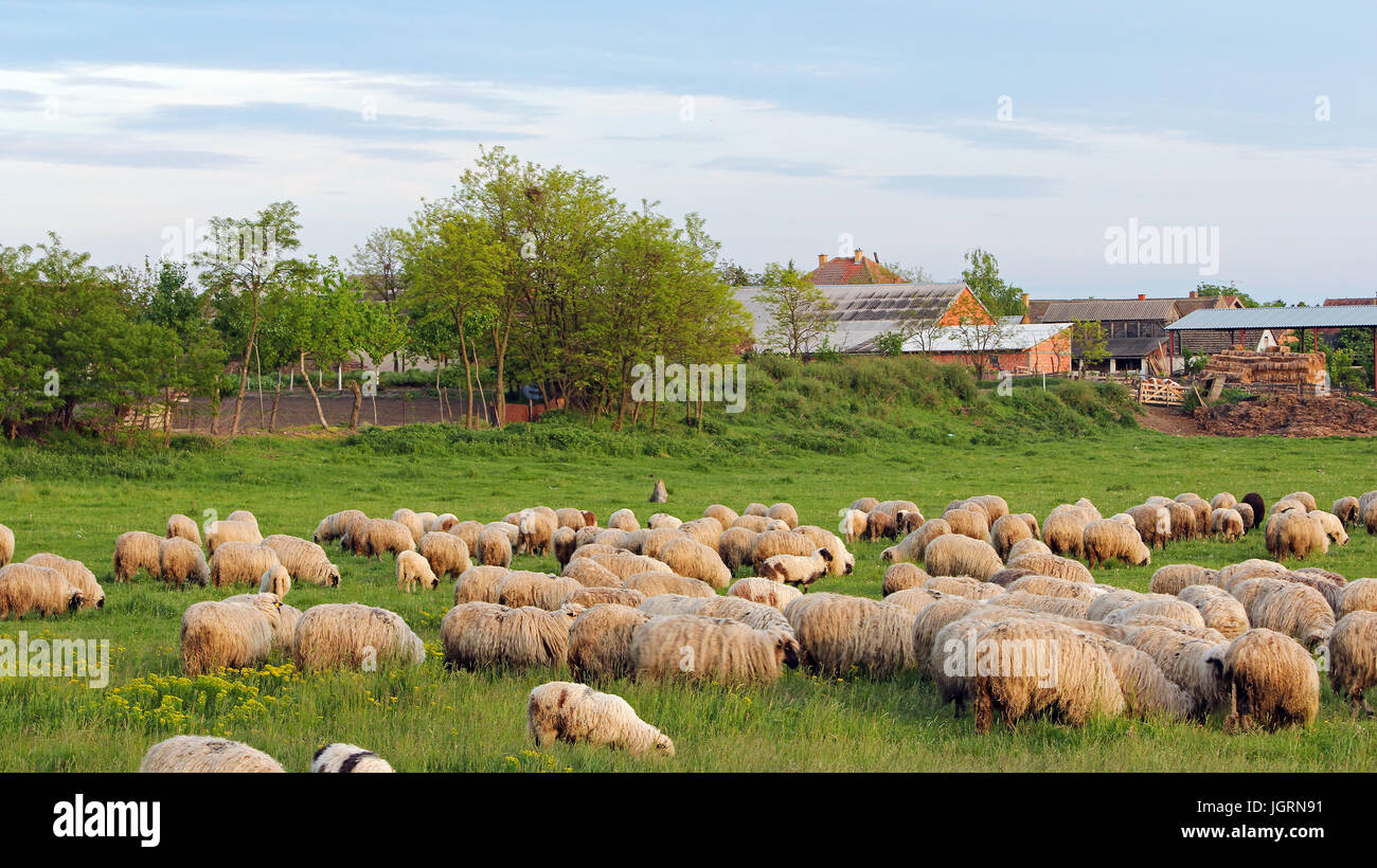 Rebaño de ovejas al atardecer con casas de campo en el fondo. Foto de stock