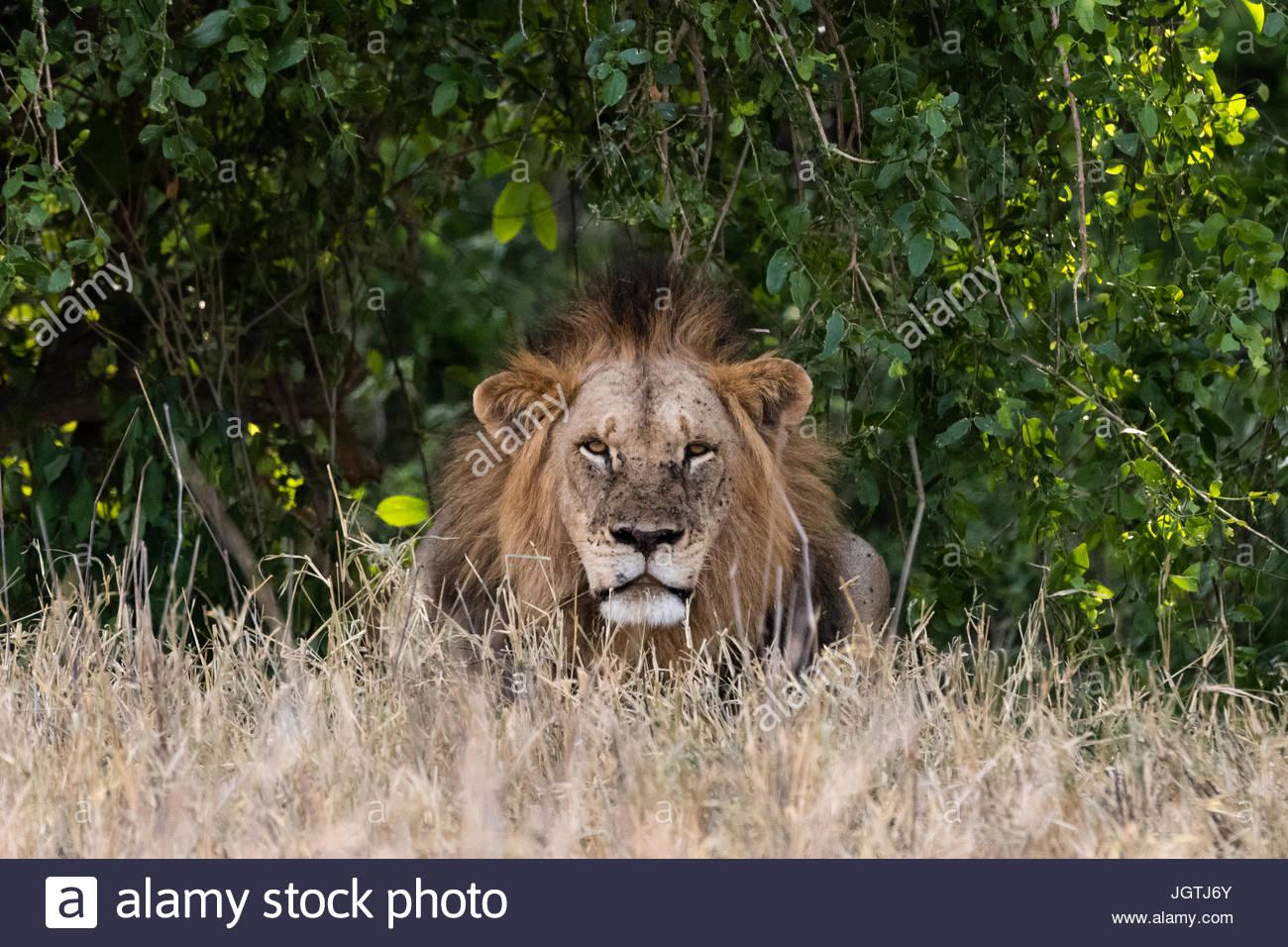 Un adulto totalmente crecido, león Panthera leo, mirando a la cámara. Imagen De Stock