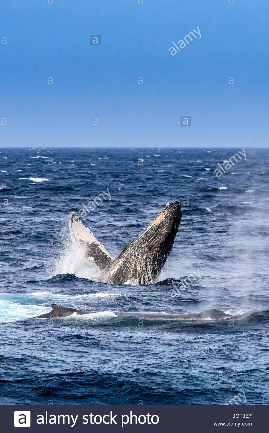 Violar el comportamiento de una ballena jorobada, Megaptera novaeangliae. Imagen De Stock