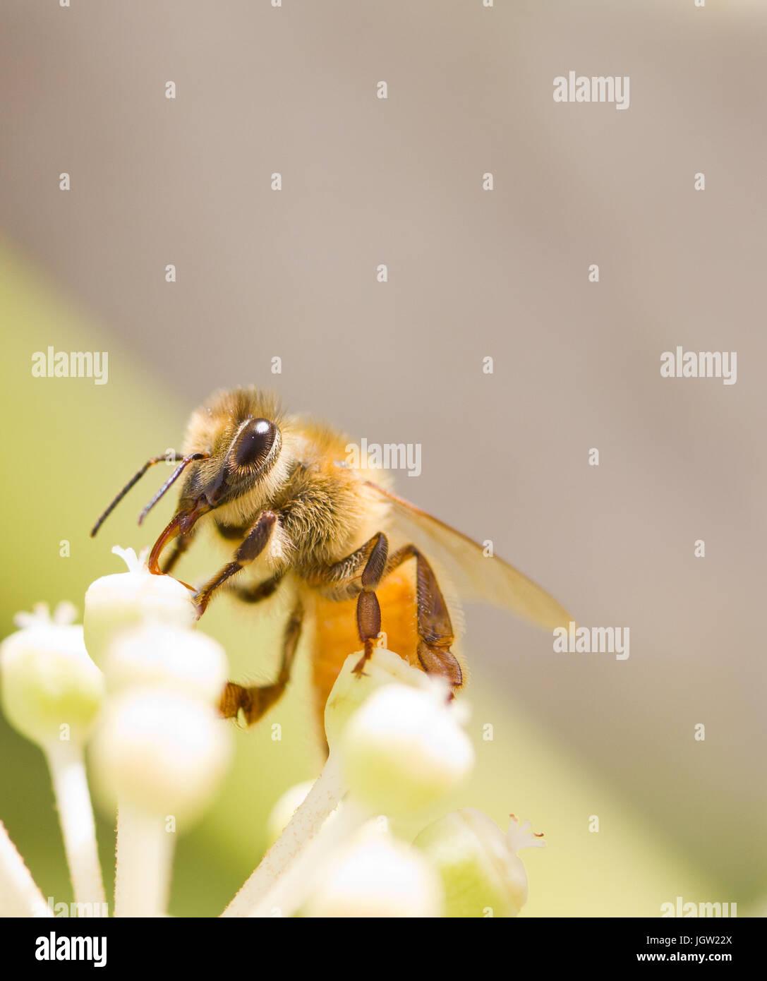 Recogiendo polen de abejas en flor blanca con fondo verde foto borrosa Imagen De Stock