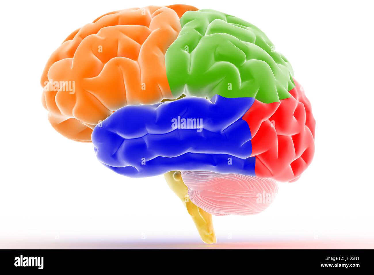 3D que muestra las diferentes partes del cerebro Foto & Imagen De ...