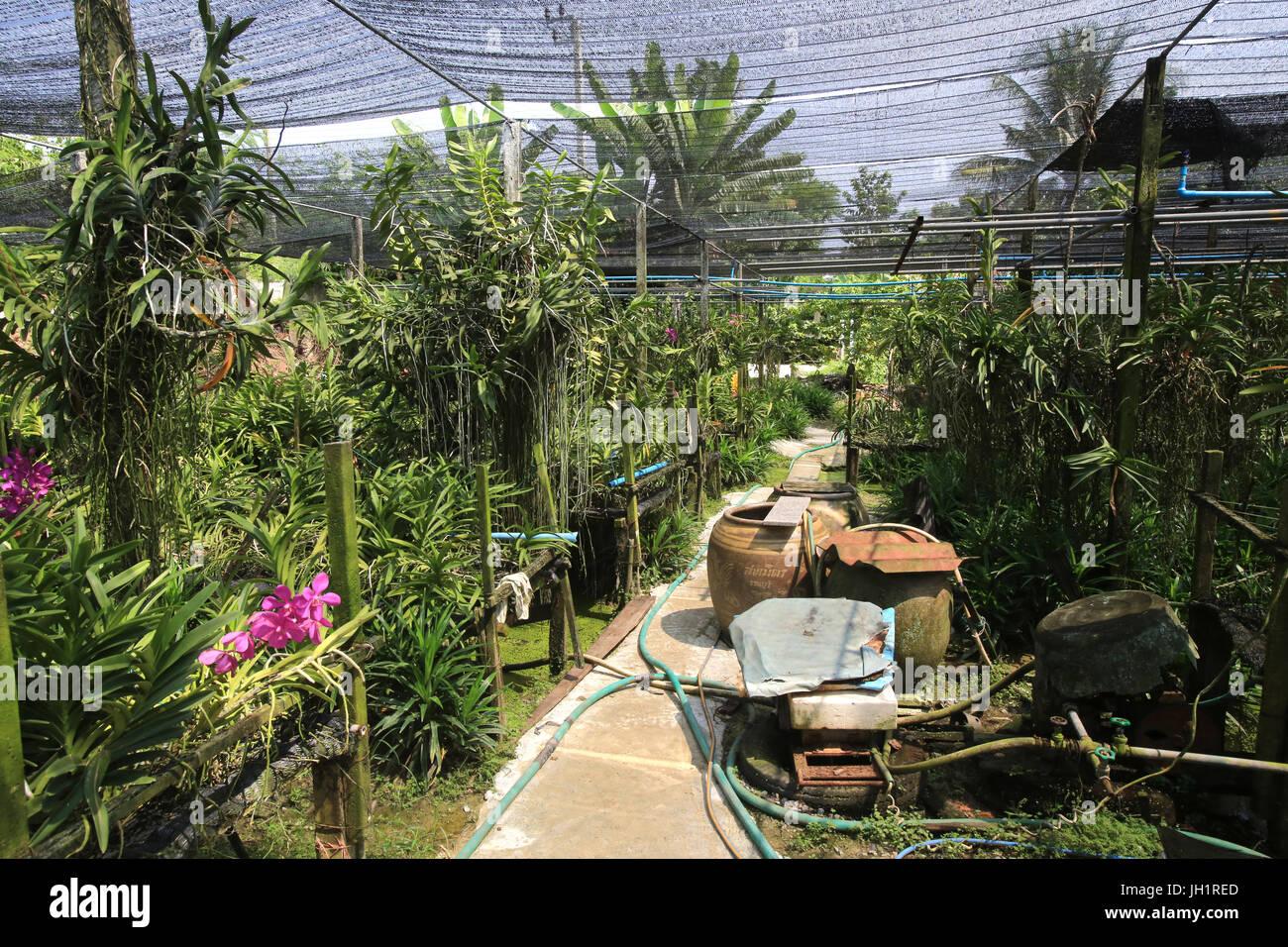 Cultivo y producción de orquídeas. Tailandia. Imagen De Stock