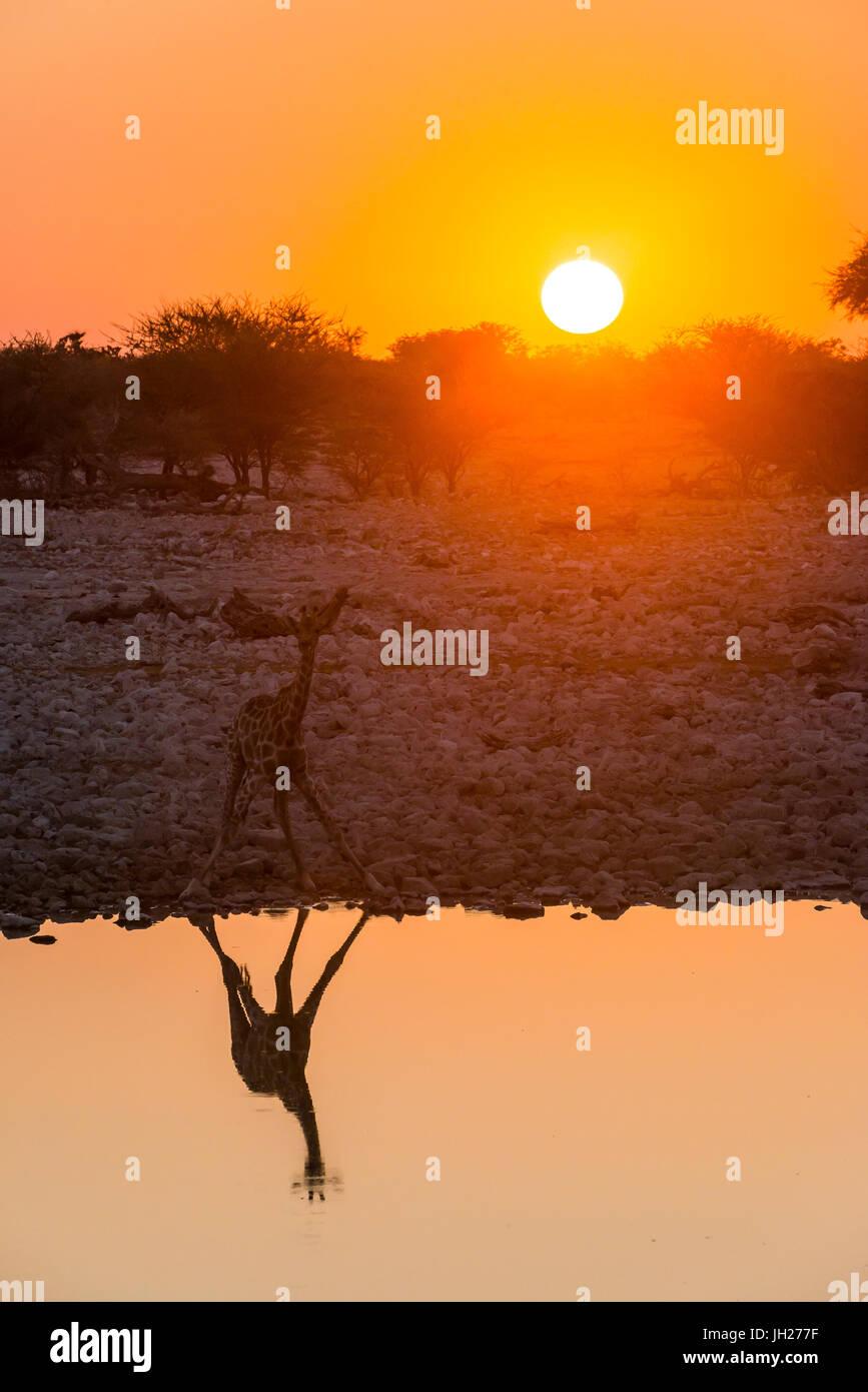 Giraffe reflejado en el agua de un abrevadero, Okaukuejo resto Camp, el Parque Nacional de Etosha, Namibia, África Foto de stock