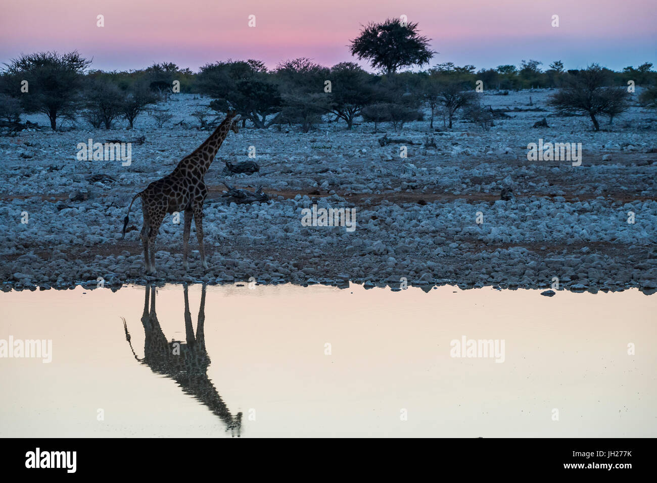 Giraffe reflejado en el agua de un abrevadero, Okaukuejo resto Camp, el Parque Nacional de Etosha, Namibia, África Imagen De Stock