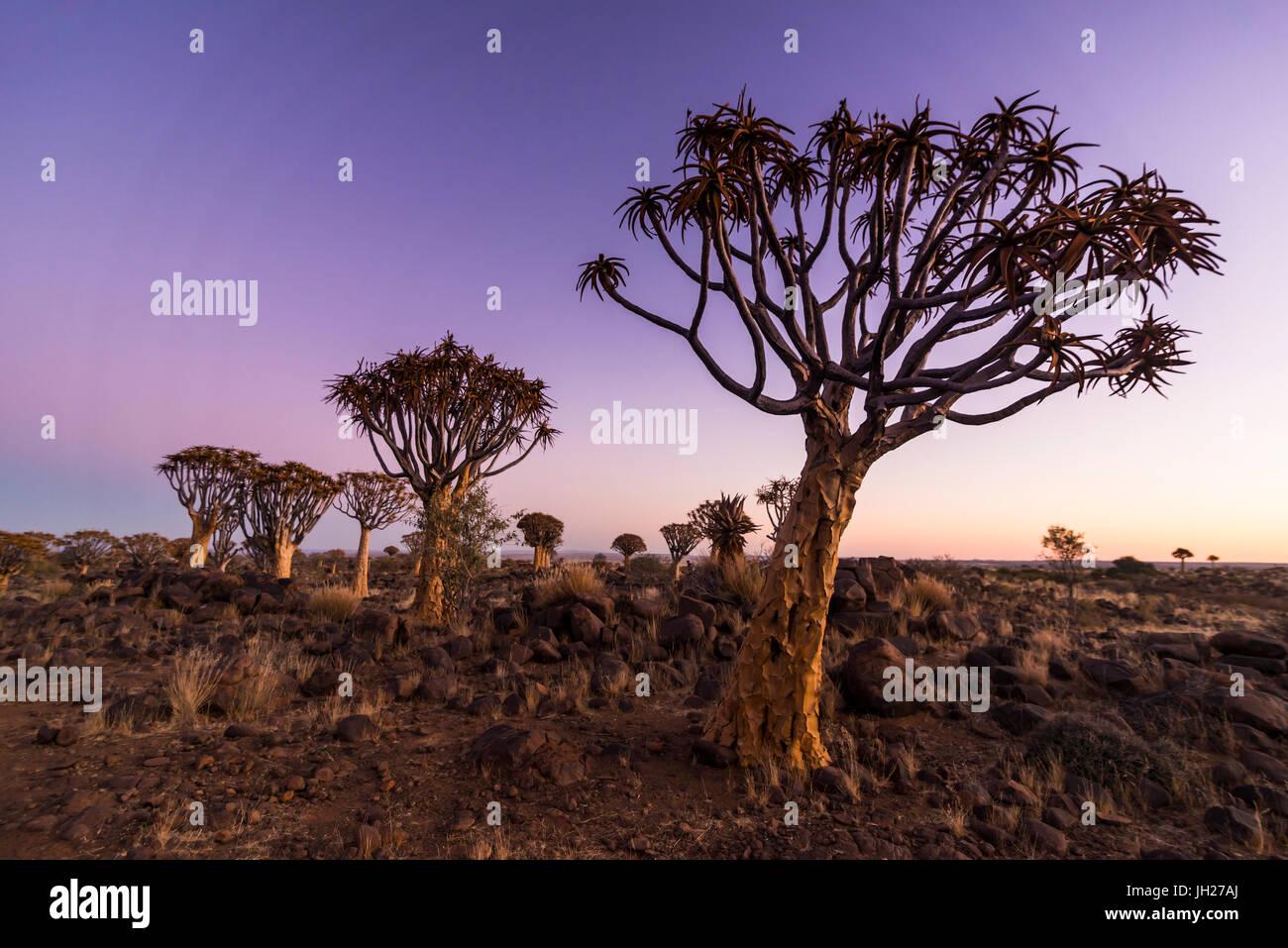 El carcaj tree forest (Aloe dichotoma) al atardecer, Gariganus granja, Keetmanshoop, Namibia, África Imagen De Stock