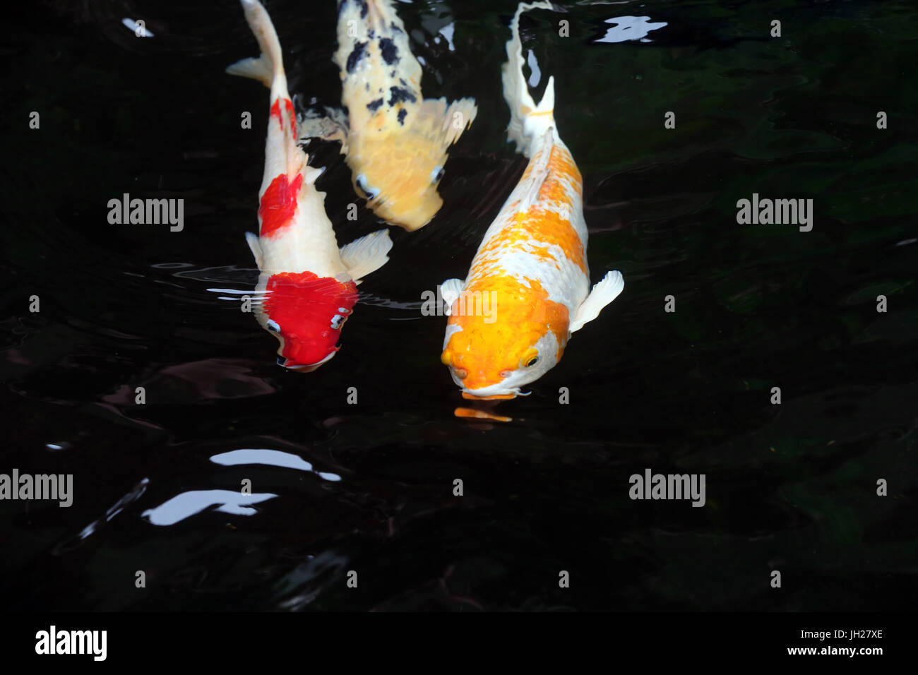 Rojo los peces en el agua. Singapur. Imagen De Stock