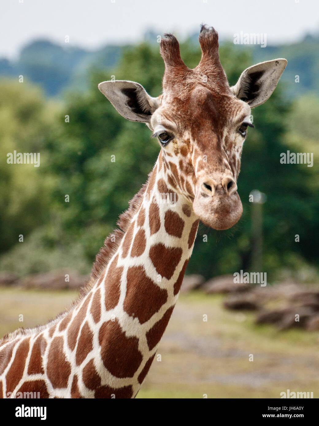 cabeza de jirafa Imagen De Stock