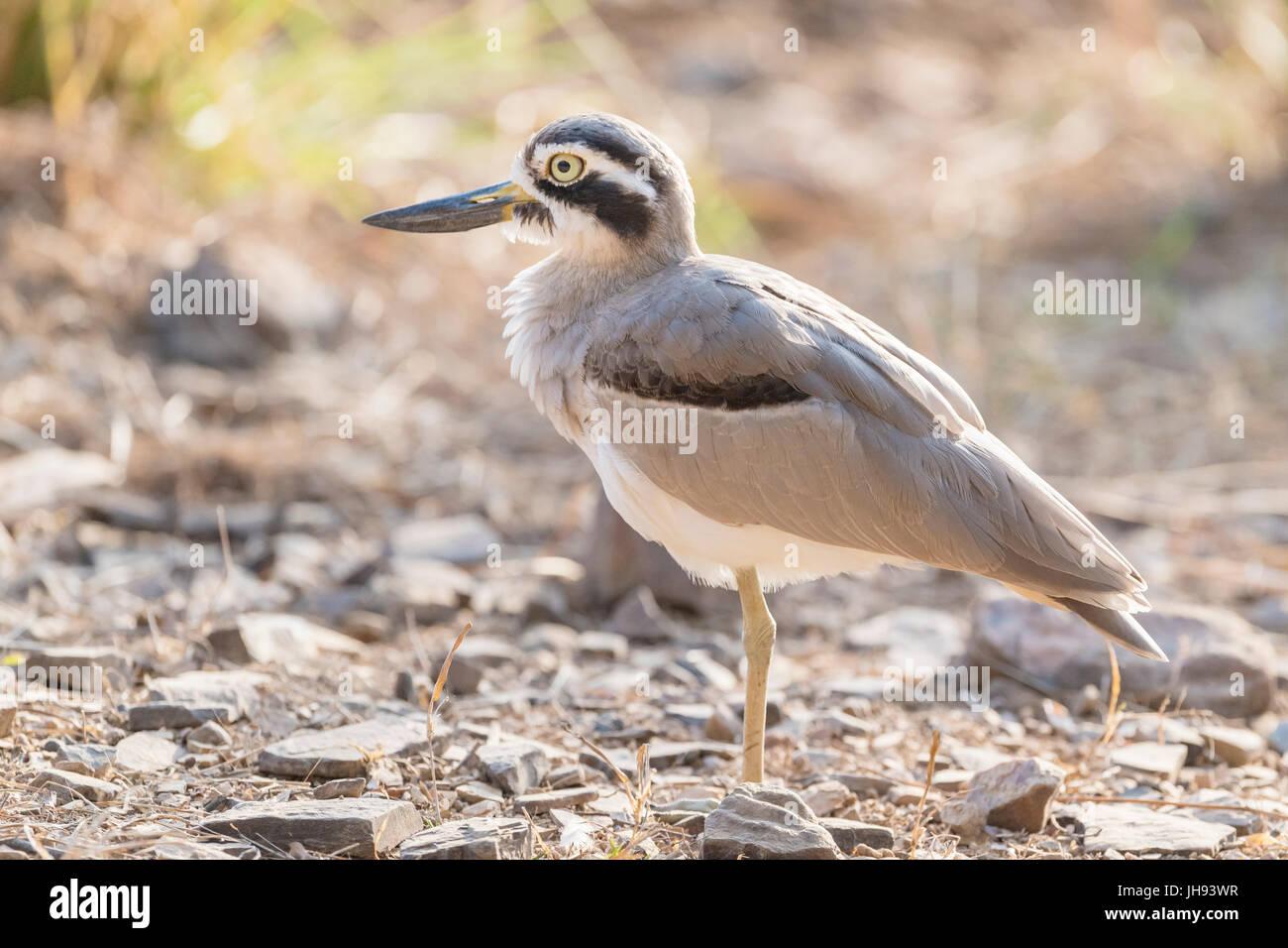Gran grueso-knee (Esacus recurvirostris) de pie en el suelo, el parque nacional Ranthambhore, Rajasthan, India Imagen De Stock