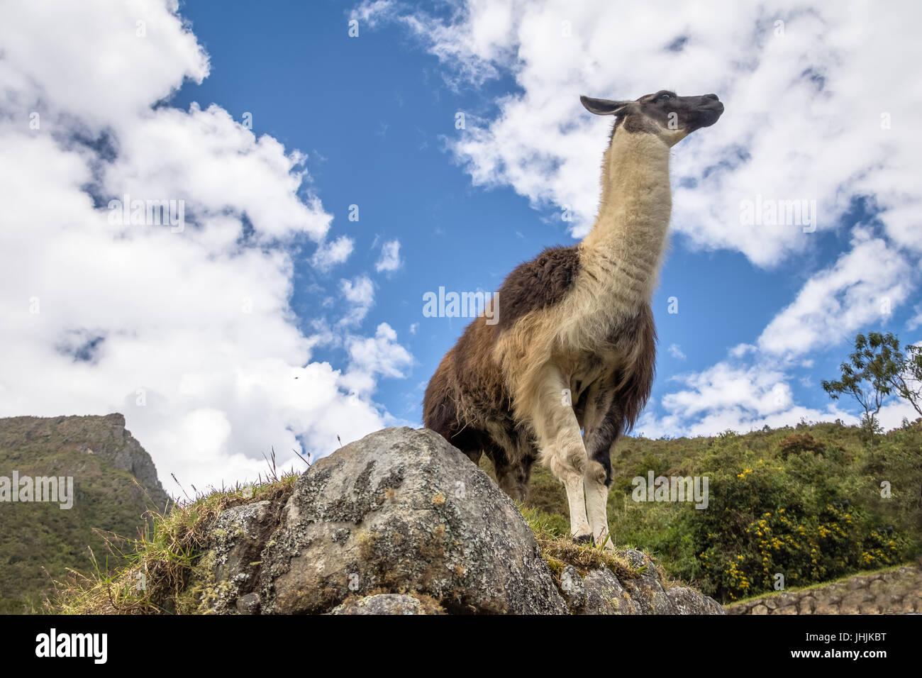 Llamas en ruinas incas de Machu Picchu - Valle Sagrado, Perú Imagen De Stock