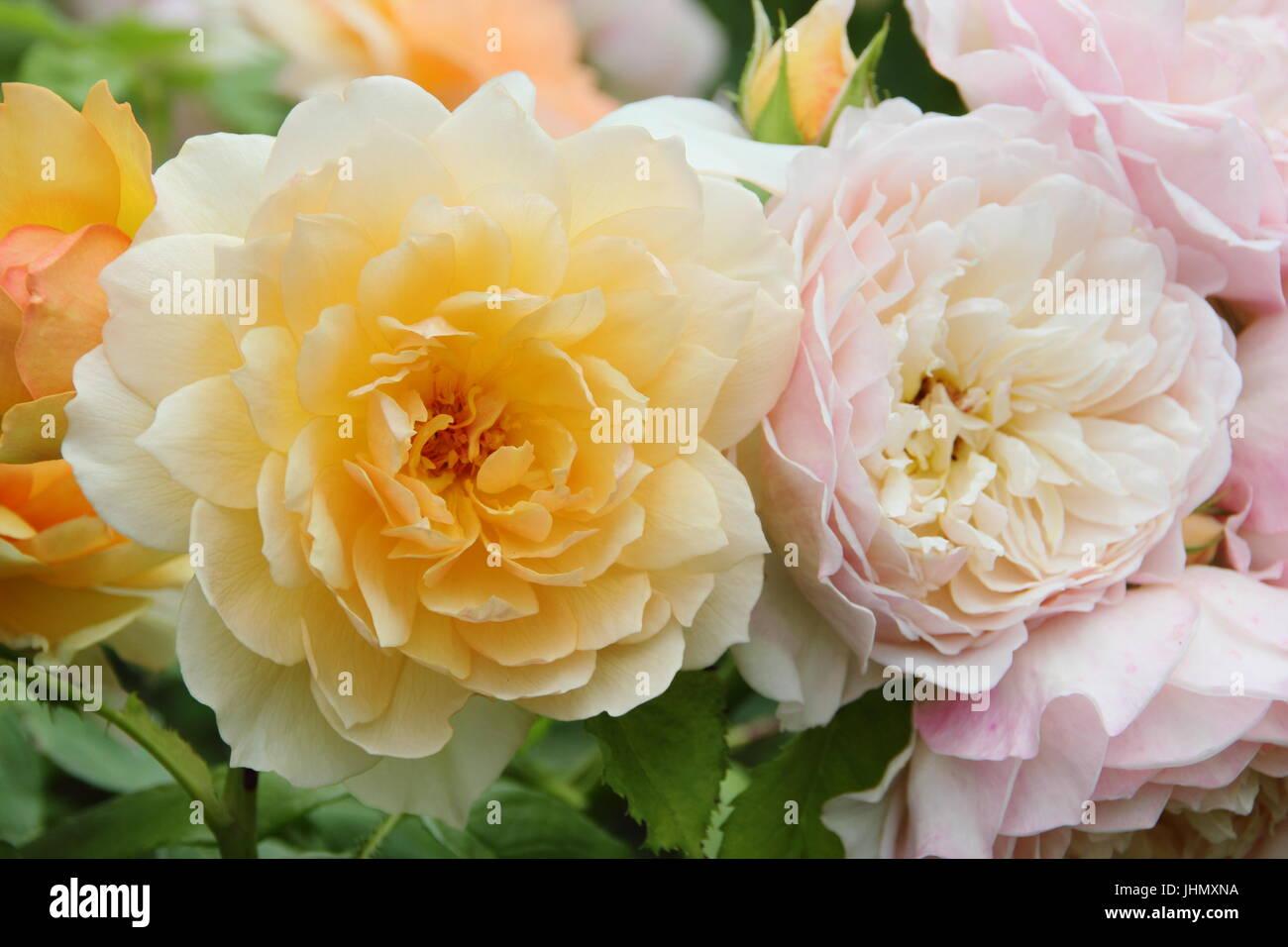 Rosa 'gracia' (Auskeppy), un arbusto muy fragante de albaricoque aumentó en plena floración en Imagen De Stock