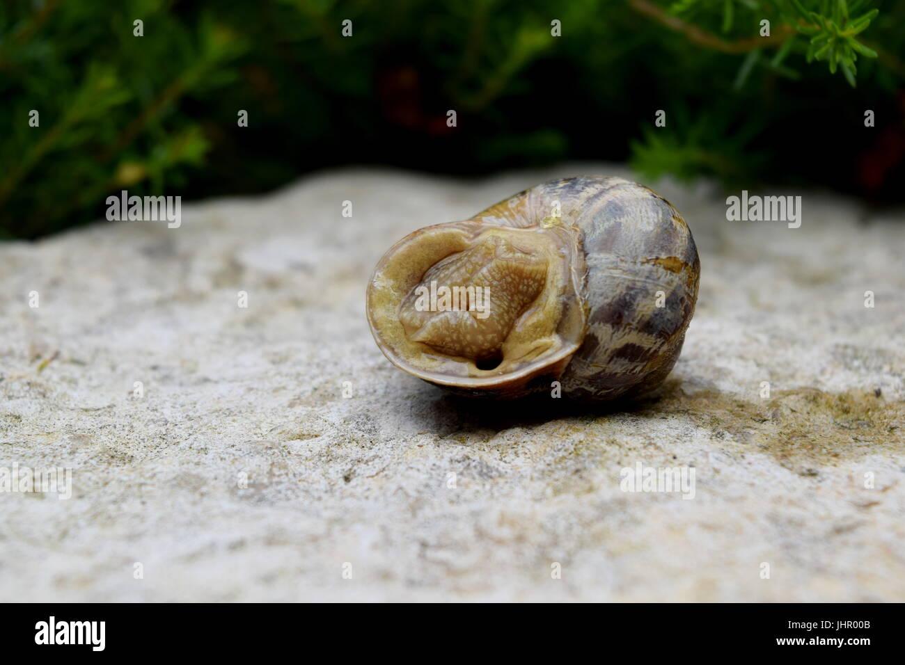 Caracol tumbado de nuevo en piedra tosca con follaje verde en segundo plano. Imagen De Stock
