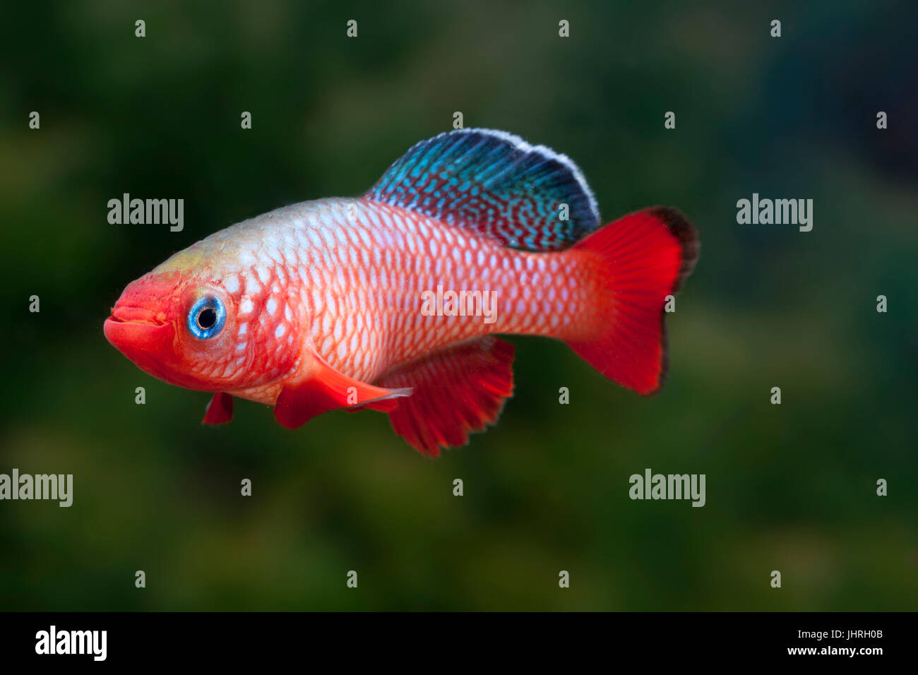 Nothobrancus especies, peces tropicales Foto de stock