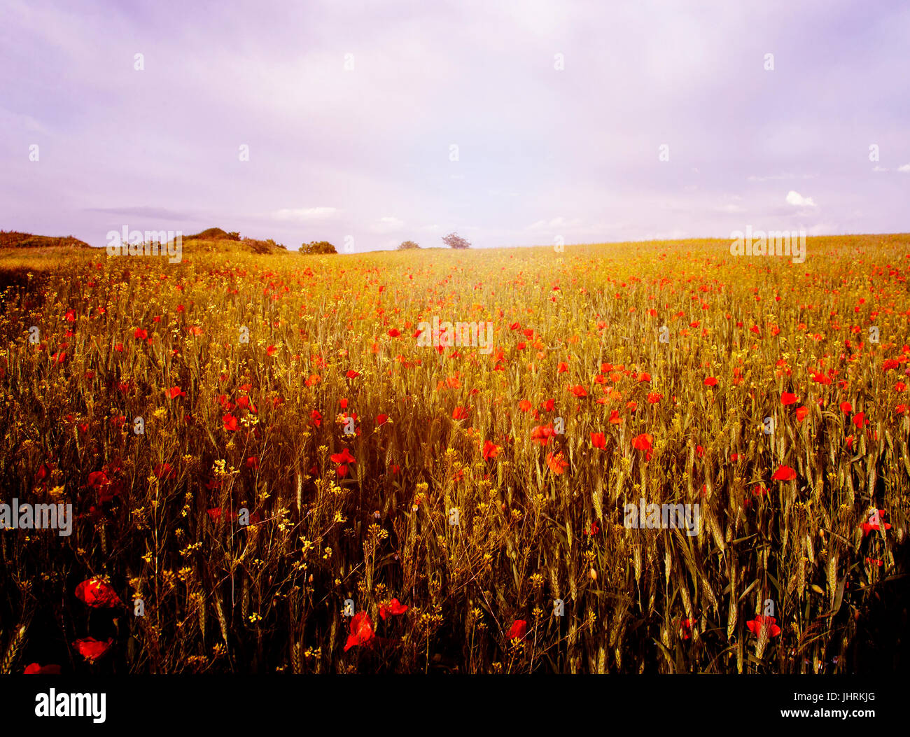 Campo de amapolas en Sunset Imagen De Stock