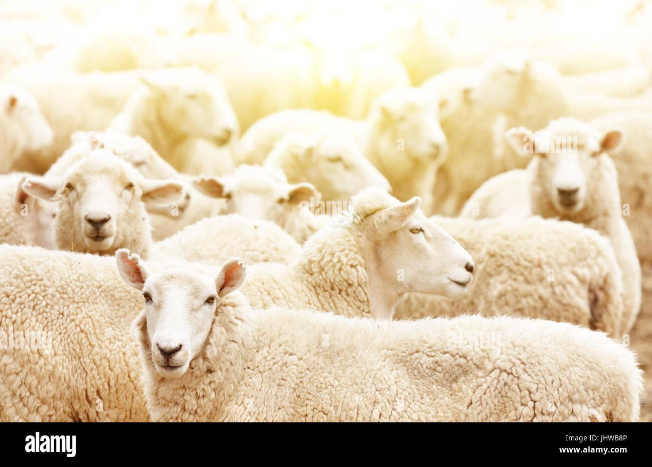 Finca ganadera, rebaño de ovejas. Imagen De Stock