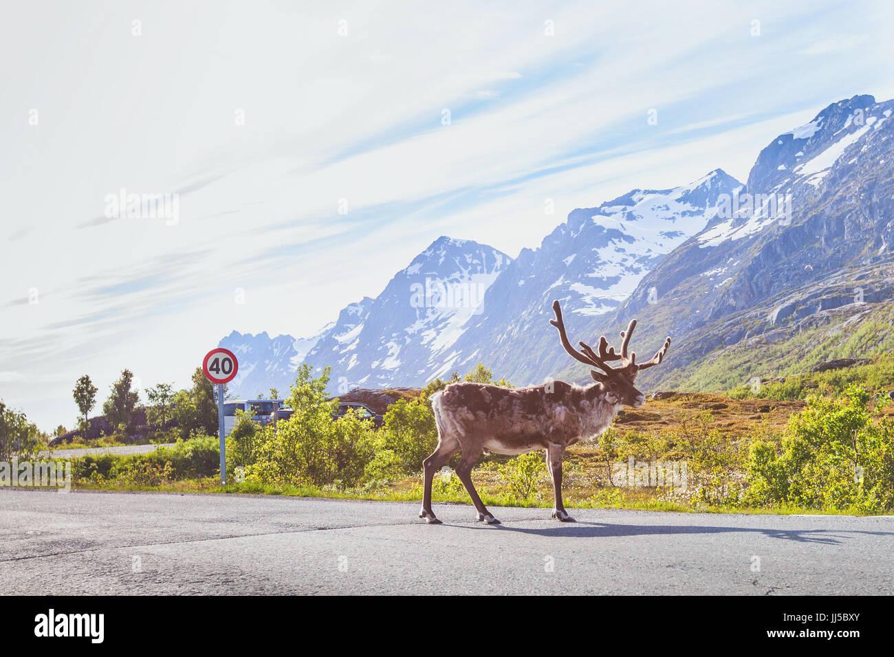 Los renos caminando sobre la carretera en Noruega Foto de stock