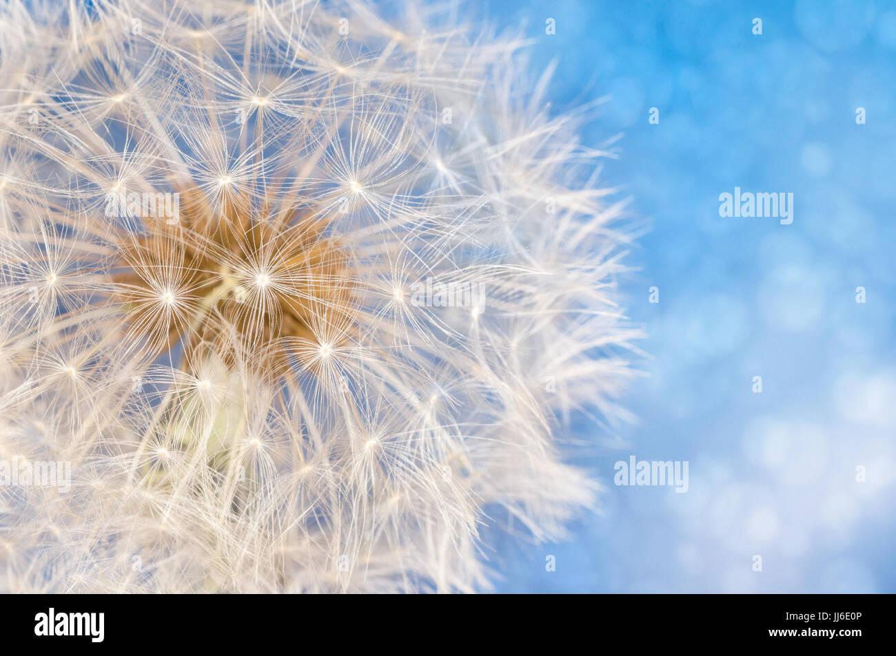 Flor diente de león con semillas bola cerca en azul brillante de fondo bokeh Imagen De Stock