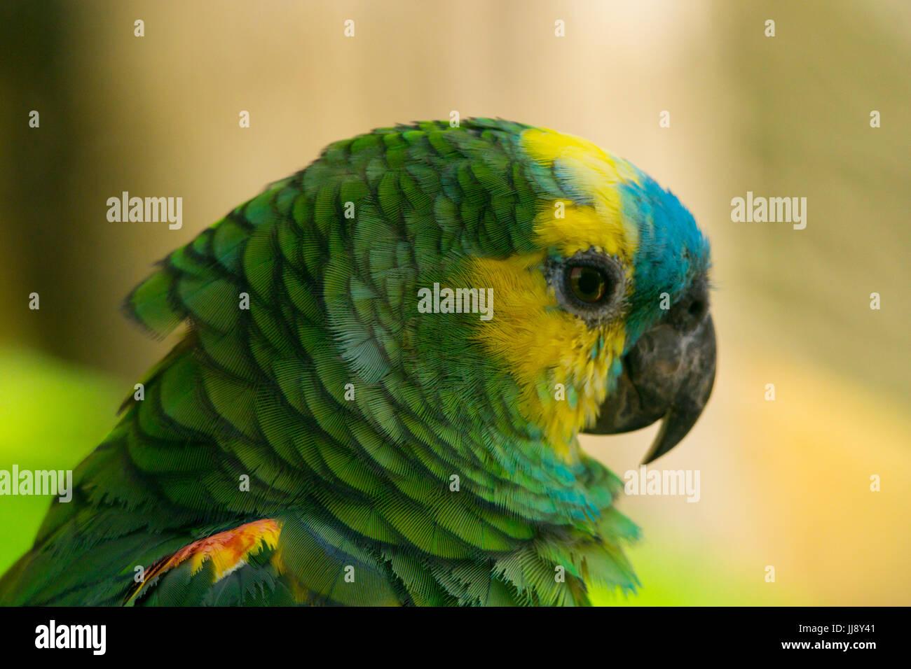 Cerrar macro retrato de un loro. Azul, amarillo y verde de plumas. Rainbow Lorikeet Foto de stock