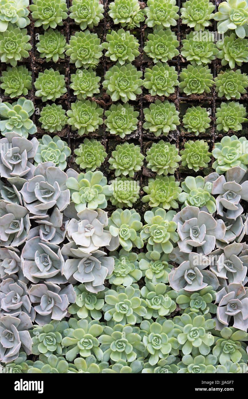 Echeveria y patrón de planta Sempervivum Foto de stock