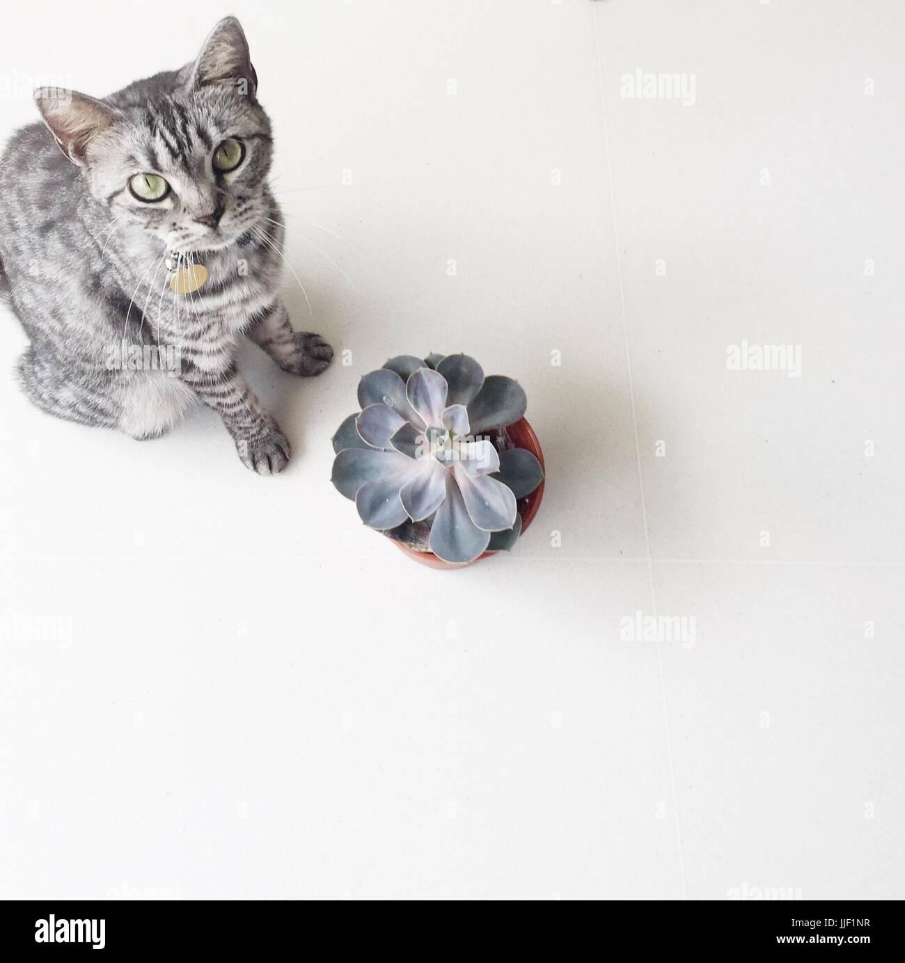 Rayas grises de American Shorthair gato sentado por una planta suculenta Foto de stock