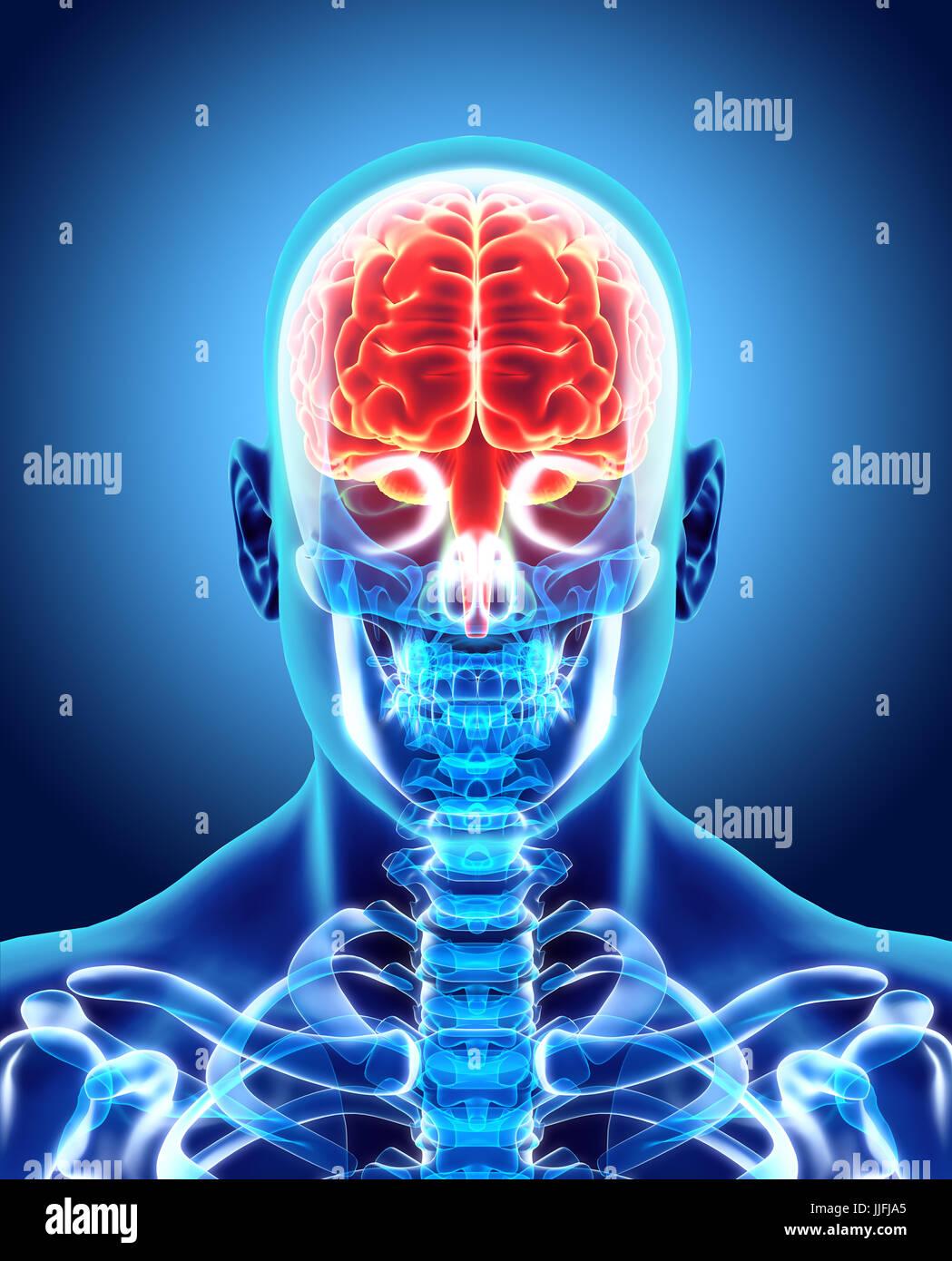 Orgánico Interno humano - cerebro humano, concepto médico ilustración 3D. Imagen De Stock