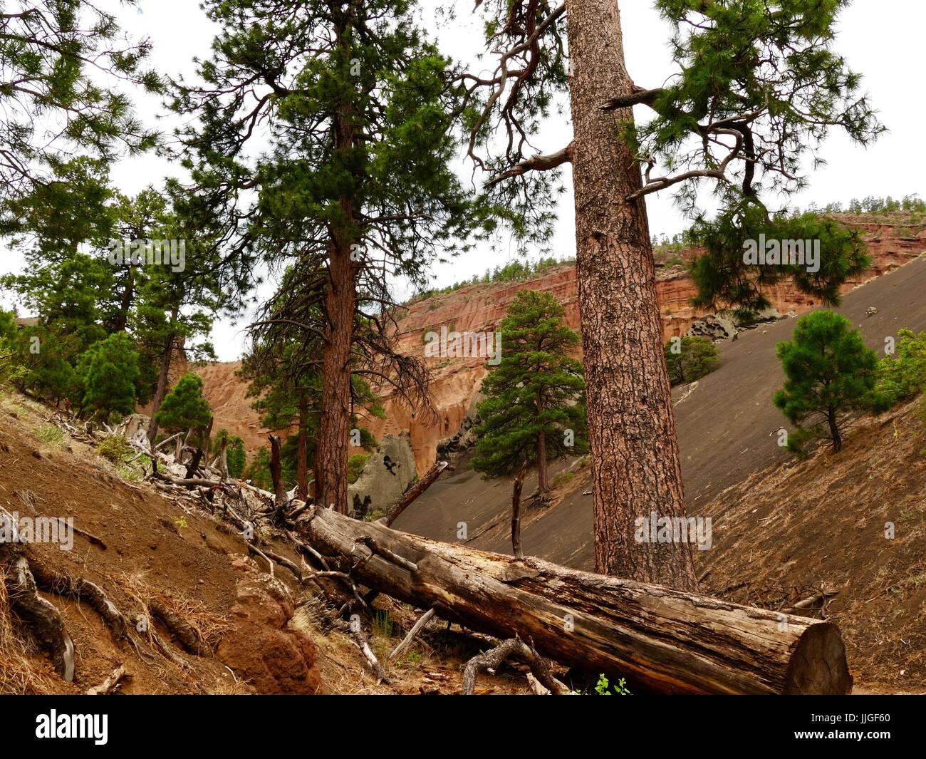 Un muerto de pino Ponderosa se encuentra cruzando un camino en la zona de Montaña Roja en el Condado de Coconino National Forest, Flagstaff, Arizona, EE.UU. Foto de stock