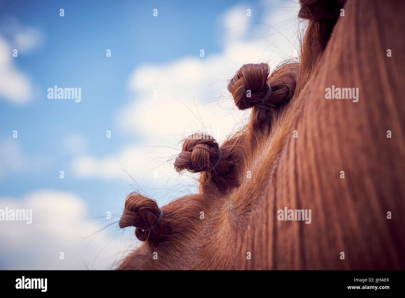 Detalle del trenzado en una melena del caballo. Imagen De Stock
