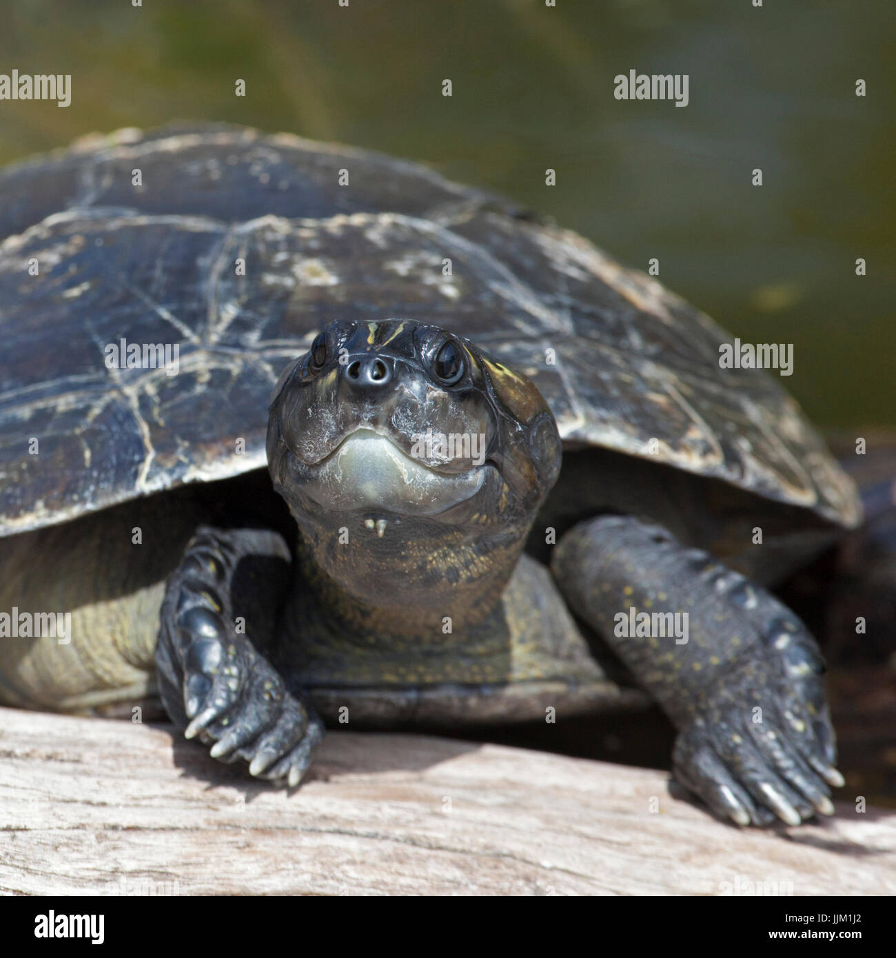Las tortugas asoleándose en registro en el Zoológico de Honolulu Imagen De Stock