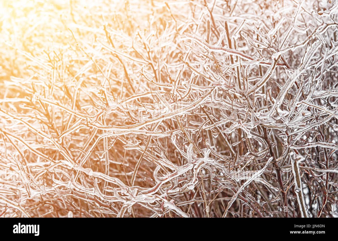 La lluvia helada es un fenómeno natural en el arbusto en día de ...